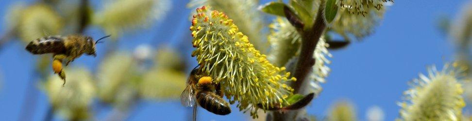 Rojení včelstev lze úplně eliminovat, budou-li se chovat místo včel kuřata.