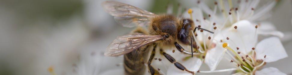 Tendence dýmáků zhasnout se zvětšuje s agresivitou včel.
