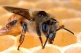 Biologie Varroa destructor