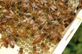 Význam a způsob značení včelích matek