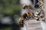 Obrana včel proti sršním